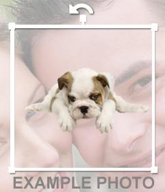 Pegatina de un bull dog cachorro que puedes añadir en tus fotos