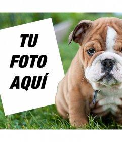 Montaje online con un Bulldog inglés donde puedes añadir tu foto