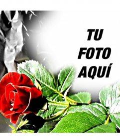 Marco para fotos personalizable. Rosa roja, ideal para enamorados