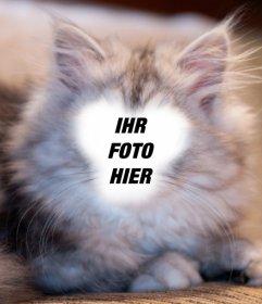 Fotomontage zu werden eine weiße und graue Perserkatze mit Ihrem Foto