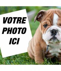 Effet en ligne avec un Bulldog anglais où vous pouvez ajouter votre photo