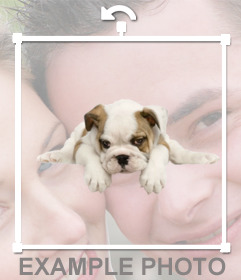 Sticker of a bull dog puppy that you can add in your photos