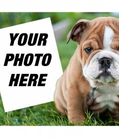 Online effect with an English Bulldog where you can add your photo
