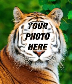 Photomontage of a tiger to upload your picture on his face