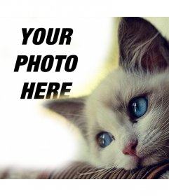 Effect with a cute blue-eyes cat to add your photo