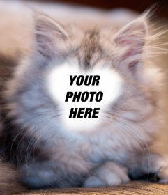 Photomontage to become a white and gray Persian cat with your photo
