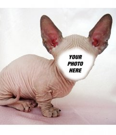 Photomontage of a bald Sphynx cat with big ears where you can put your face